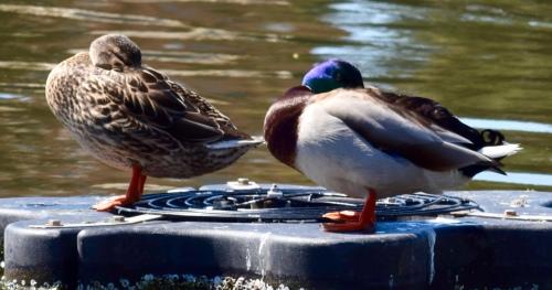 Sleeping Ducks